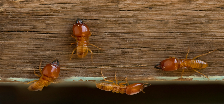 Termitas atacando la madera